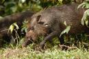 Bearded pig (Sus barbatus)