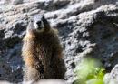 Yellow-bellied marmot, Marmota flaviventri