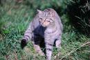 Scottish wildcat (Felis silvestris grampia)