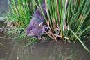 Water vole (Arvicola amphibius)