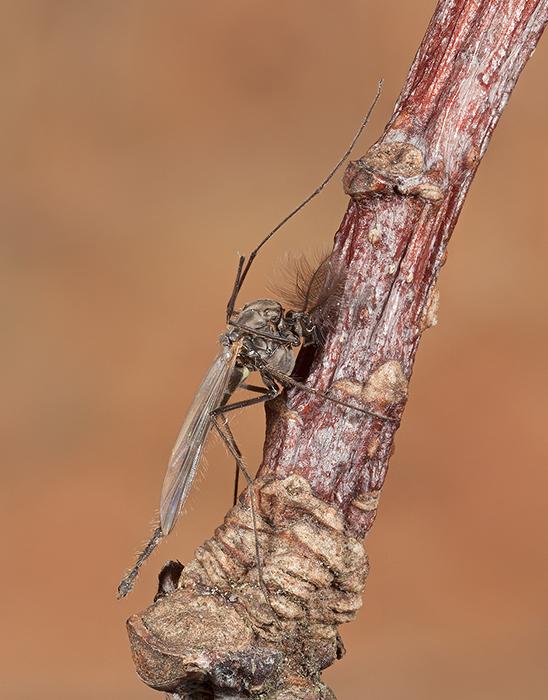 Midge - Chironomus plumosus