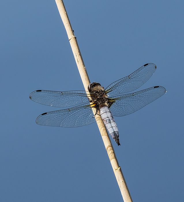 Scarce Chaser (?)