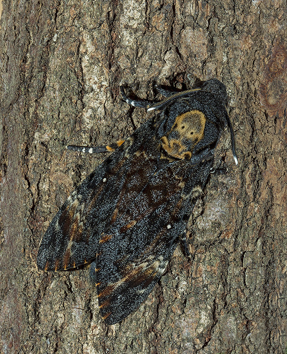 Death's Head Hawk - Acherontia atropos