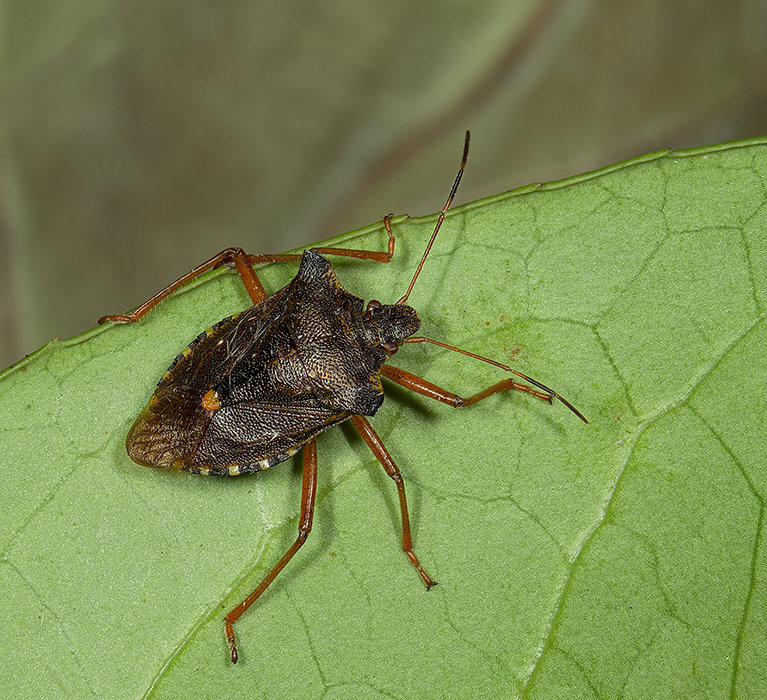 Red Legged Shieldbug - Pentatoma rufipes