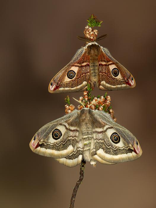 Emperor Moth - Saturnia pavonia