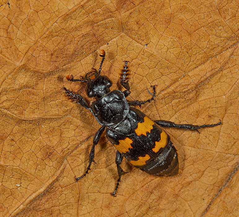 Sexton Beetle - Nicrophorus interruptus