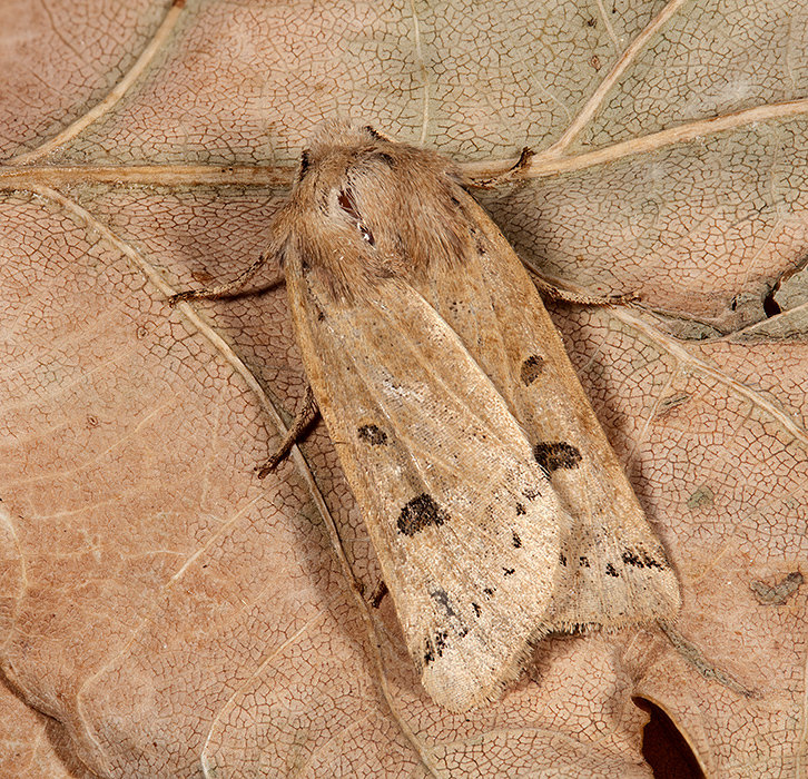 Lesser Yellow Underwing