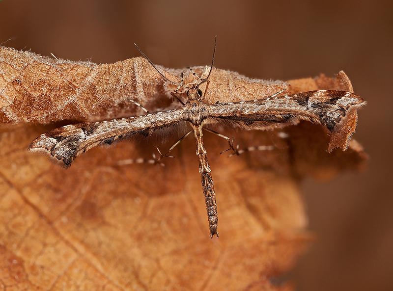 Brindled Plume  - Amblyptilia punctidactyla