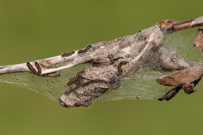 Browntail moth caterpillars