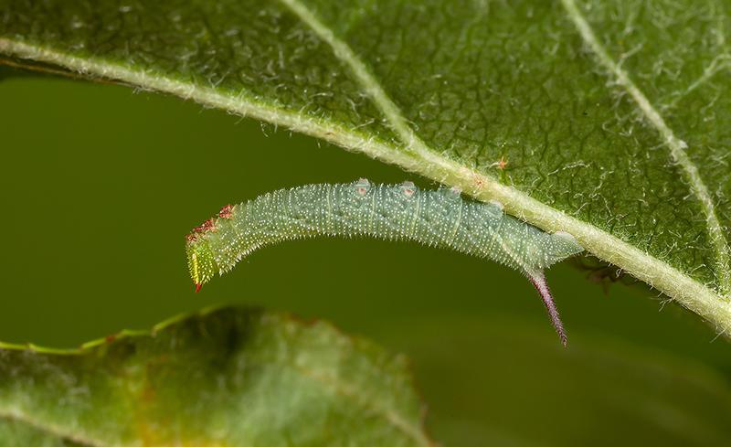 Eyed Hawk caterpillar