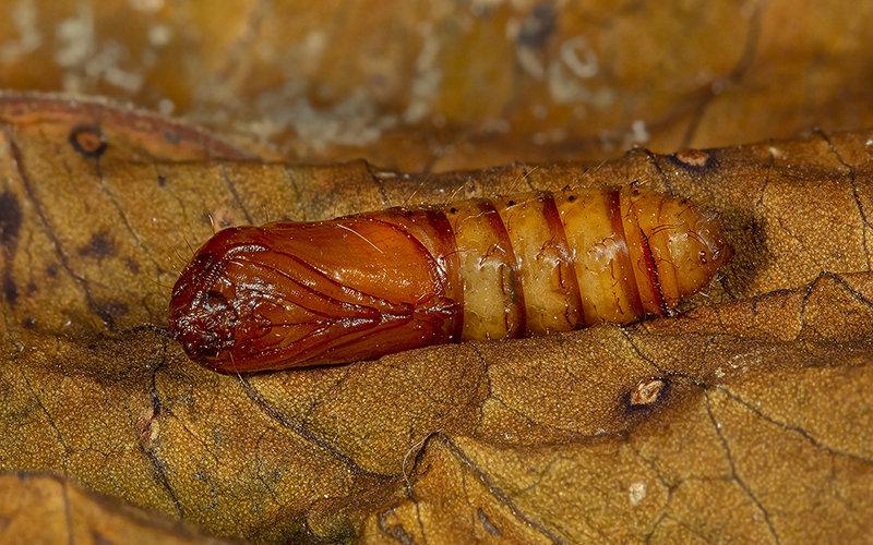 Common Swift moth pupa