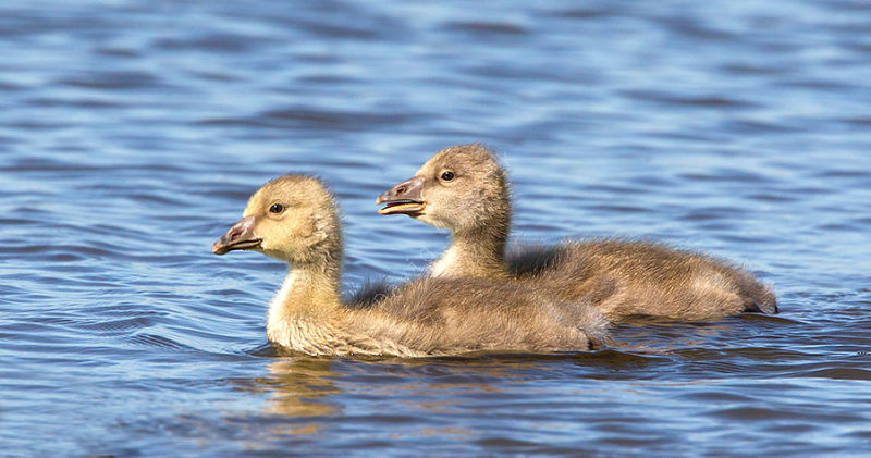 Grey Lag Goslings