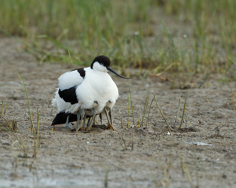 Avocet and chicks