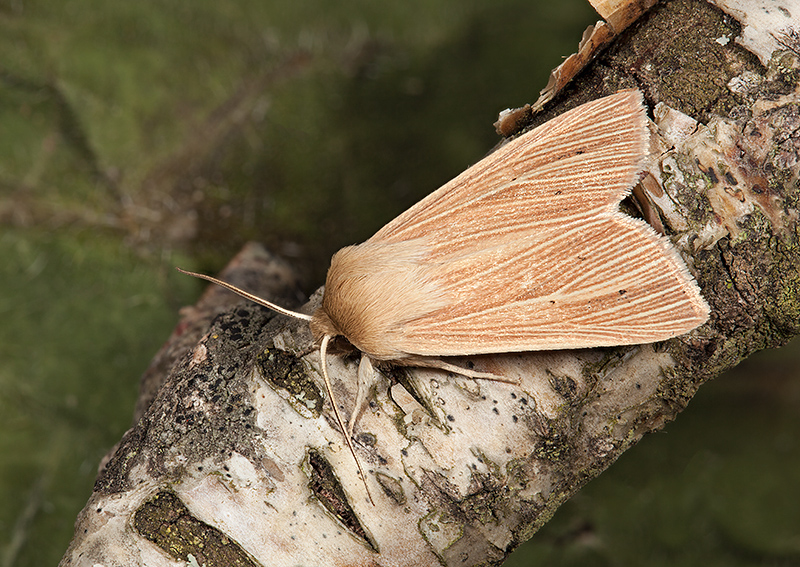 Common Wainscot