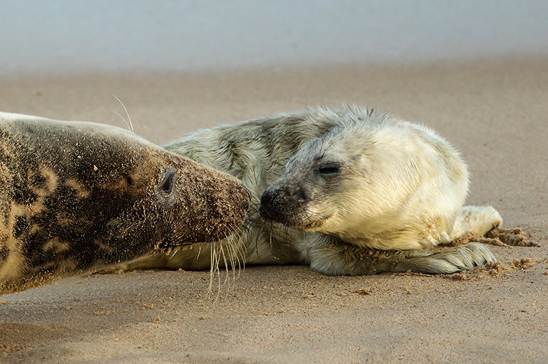 Grey Seal and Pup
