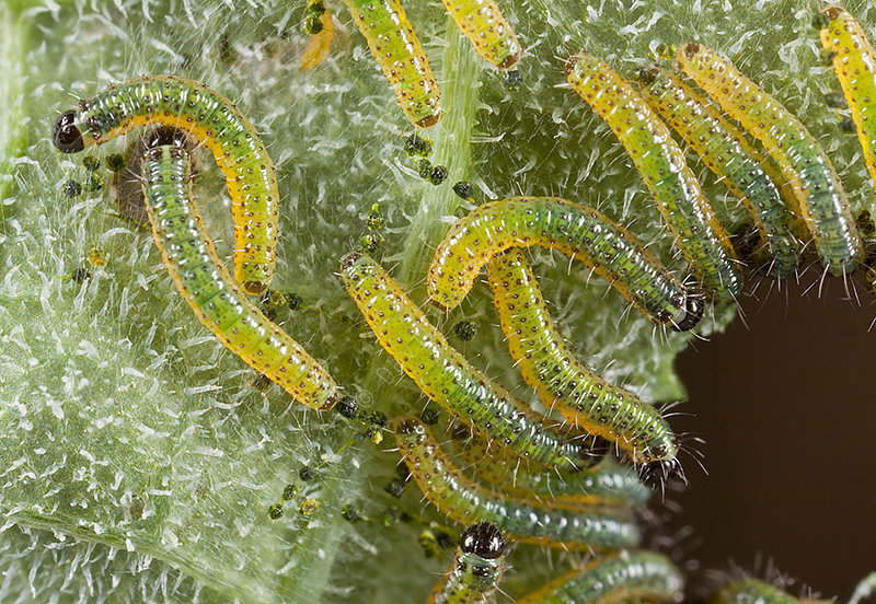 Large White Butterfly Caterpillars