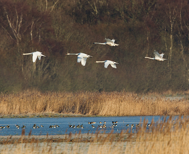 Mute Swans and Lapwings