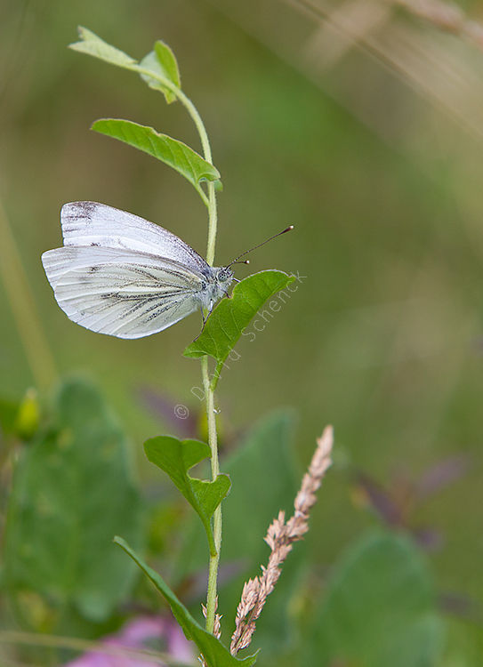 Green Veined White