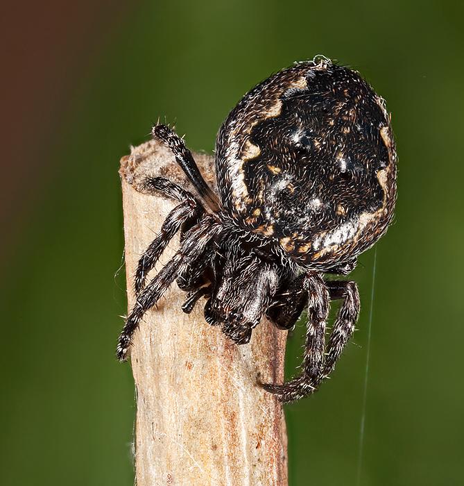 Walnut Orb Spider