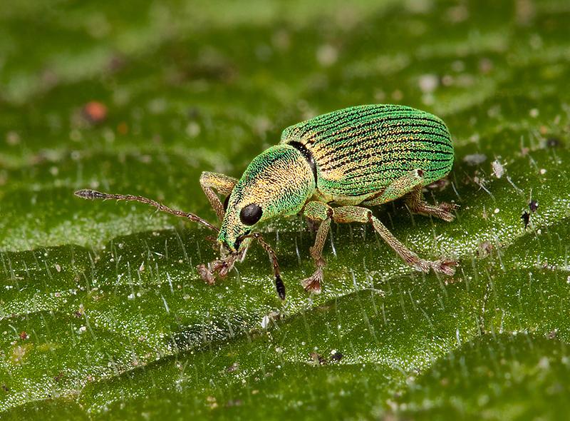 Weevil - Phyllobius roboretanus
