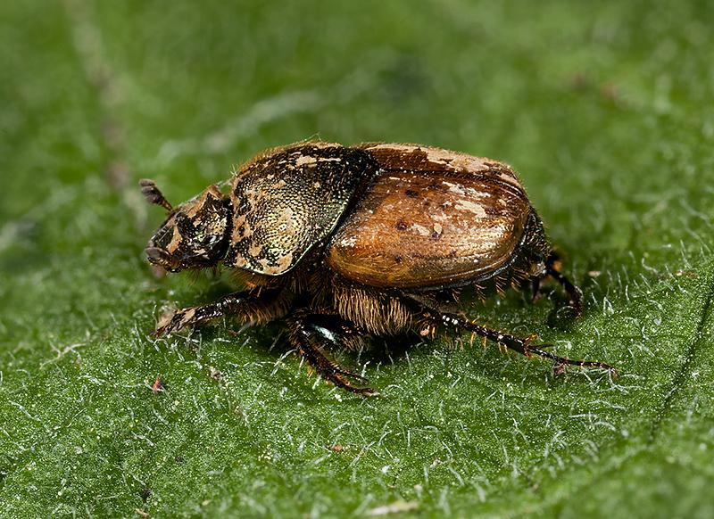 Onthophagus coenobita