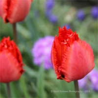 Red Feathered Edge Tulips
