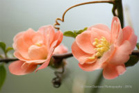 Salmon Quince Blossom