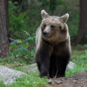 Brown Bear Juvenile