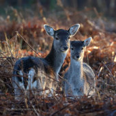 Fallow Deer Mother And Fawn