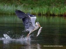 Heron Steal