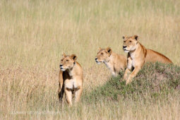 Lioness Lookout
