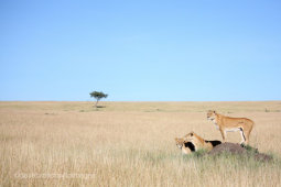 Lioness View