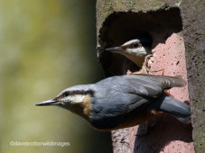 Mr and Mrs Nuthatch