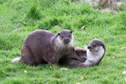 Otter Play
