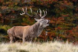 Red Deer Bellow