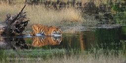 Tiger In The Lake
