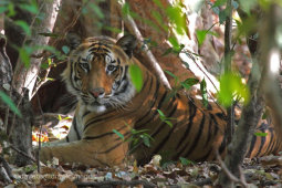 Tiger In The Shade