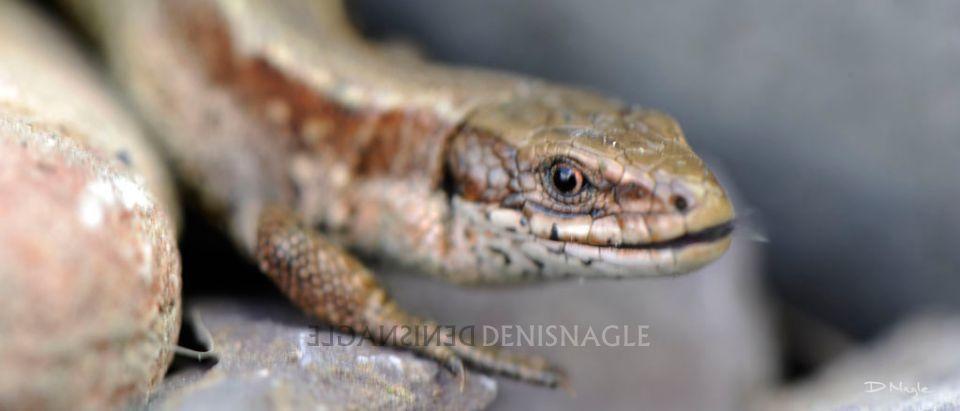 Viviparous Lizard , Co. Cork  , May ' 12 .