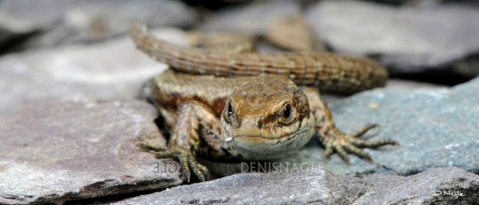 Viviparous Lizard , Co. Cork , May ' 12 .