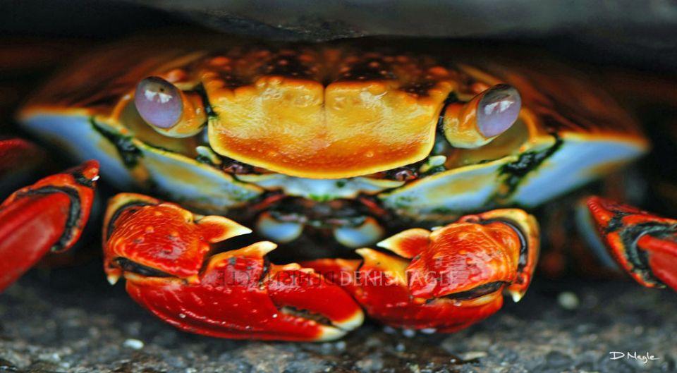 Sally Lightfoot Crab , Galapagos Islands , Ecuador S.A.  , Dec ' 06 .