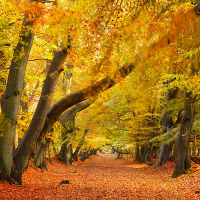 Autumnal Beech Tree Woodland.