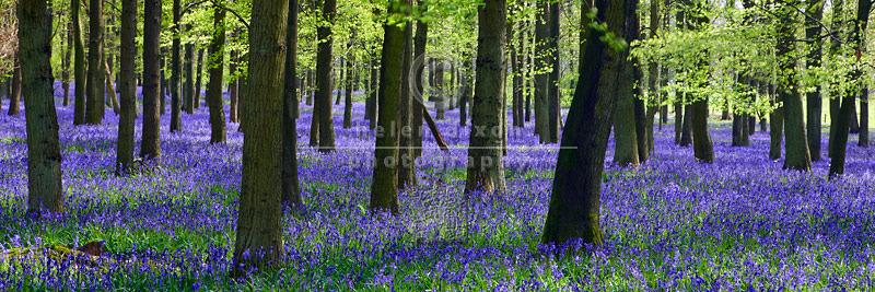 Bluebell Wood Panorama