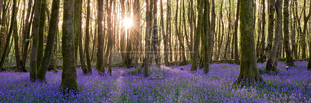 English Bluebell Wood