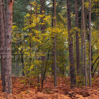 Conifer Woodland