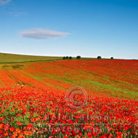 South Downs Poppies