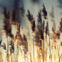 Back lit reeds