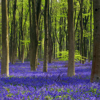 Bluebell Wood