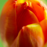 Tulip Close-up