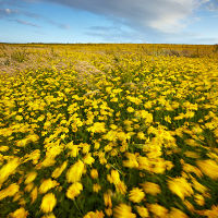 Corn Marigolds