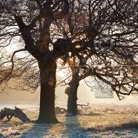 Oak Tree Silhouettes
